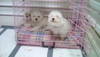 Bolognese Puppies for sale in Fairhope Ave, Fairhope, AL 36532, USA. price: NA