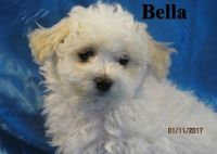 Bolognese Puppies for sale in New York, NY, USA. price: NA