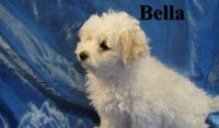 Bolognese Puppies for sale in Virginia Beach, VA, USA. price: NA