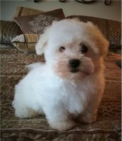 Bolognese Puppies for sale in San Diego, CA, USA. price: NA