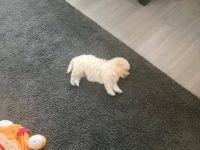 Bolognese Puppies for sale in Ketchikan, AK 99901, USA. price: NA