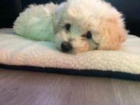 Bolognese Puppies Photos