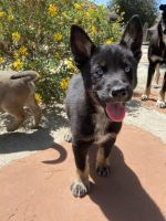 Bolognese Puppies for sale in Jurupa Valley, CA, USA. price: NA