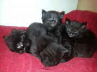 Bombay Cats for sale in Houston, TX, USA. price: NA