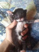 Bombay Cats for sale in Mitchellville, MD, USA. price: NA