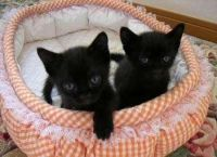 Bombay Cats for sale in Georgetown, GA, USA. price: NA