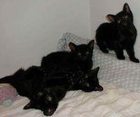 Bombay Cats for sale in San Bernardino, CA, USA. price: NA
