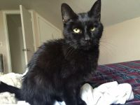 Bombay Cats for sale in Jerome, AZ 86331, USA. price: NA