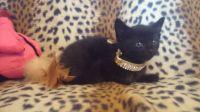 Bombay Cats for sale in Dallas, TX, USA. price: NA