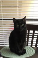 Bombay Cats for sale in Richardson, TX, USA. price: NA