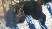 Bombay Cats Photos