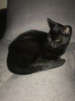 Bombay Cats for sale in Tucson, AZ, USA. price: NA