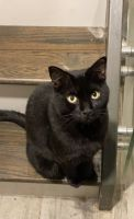 Bombay Cats for sale in 9050 Markville Dr, Dallas, TX 75243, USA. price: NA