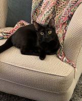 Bombay Cats for sale in Covina, CA, USA. price: NA