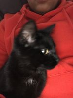 Bombay Cats for sale in Avenel, Woodbridge Township, NJ, USA. price: NA