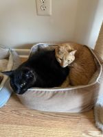 Bombay Cats for sale in North Branford, CT 06471, USA. price: NA