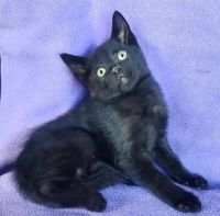 Bombay Cats for sale in Fairbanks, AK, USA. price: NA