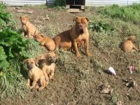 Borador Puppies Photos