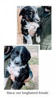 Borador Puppies for sale in Lynnville, TN 38472, USA. price: NA