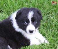 Border Collie Puppies for sale in Albuquerque, NM 87101, USA. price: NA