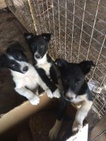 Border Collie Puppies for sale in Arlington, VA, USA. price: NA