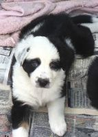 Border Collie Puppies for sale in Hartford, CT 06120, USA. price: NA