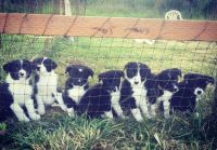 Border Collie Puppies for sale in Ferndale, WA, USA. price: NA
