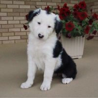Border Collie Puppies for sale in Canton, OH, USA. price: NA