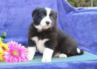 Border Collie Puppies for sale in Beverly Hills, CA 90210, USA. price: NA
