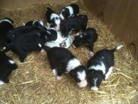 Border Collie Puppies for sale in Austin, TX, USA. price: NA