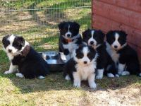 Border Collie Puppies for sale in Las Vegas, NV 89109, USA. price: NA