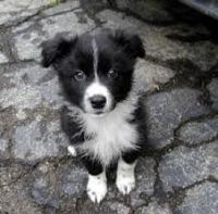 Border Collie Puppies for sale in Chicago, IL, USA. price: NA