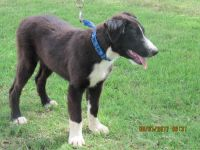 Border Collie Puppies for sale in Phoenix, AZ, USA. price: NA