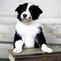 Border Collie Puppies for sale in Pennsylvania Ave, Brooklyn, NY, USA. price: NA