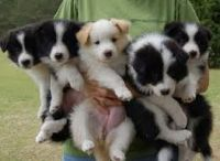 Border Collie Puppies for sale in Califa St, Los Angeles, CA 91601, USA. price: NA