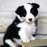 Border Collie Puppies for sale in Los Angeles, CA 90014, USA. price: NA