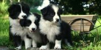 Border Collie Puppies for sale in Indianapolis International Airport, Indianapolis, IN 46241, USA. price: NA