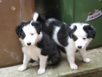 Border Collie Puppies for sale in NC-150, Winston-Salem, NC, USA. price: NA