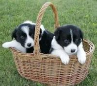 Border Collie Puppies for sale in Manitowoc, WI 54220, USA. price: NA