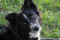 Border Collie Puppies for sale in Walkerville, MI 49459, USA. price: NA