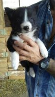 Border Collie Puppies for sale in Hesperia, MI 49421, USA. price: NA