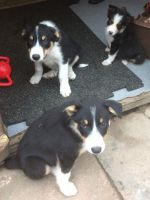 Border Collie Puppies for sale in Clifton Ave, Clifton, NJ, USA. price: NA
