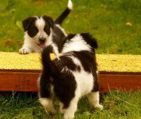 Border Collie Puppies for sale in San Antonio, TX 78224, USA. price: NA