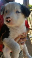 Border Collie Puppies for sale in Litchfield Park, AZ 85340, USA. price: NA