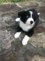 Border Collie Puppies for sale in Atmore, AL 36502, USA. price: NA