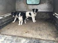 Border Collie Puppies for sale in Jersey Shore, NJ, USA. price: NA
