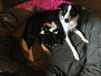 Border Collie Puppies for sale in Foster, RI, USA. price: NA