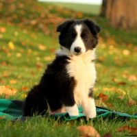 Border Collie Puppies for sale in Black River Falls, WI 54615, USA. price: NA