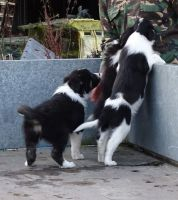 Border Collie Puppies for sale in New Orleans, LA, USA. price: NA