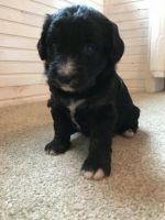 Border Collie Puppies for sale in Wynnewood, PA, USA. price: NA